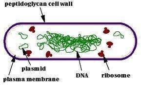 Cấu tạo tế bào vi khuẩn