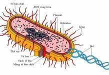 Đại cương về vi khuẩn học, hình thể của vi khuẩn, cấu tạo của tế bào vi khuẩn