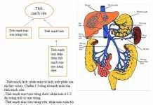 Giải phẫu hệ tĩnh mạch cửa (tĩnh mạch gánh)