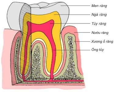 Cấu tạo răng và vùng quanh răng
